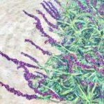 Mexican Sage Brush – Charlie Cohn, Seattle, WA 40 x 30  •  2019